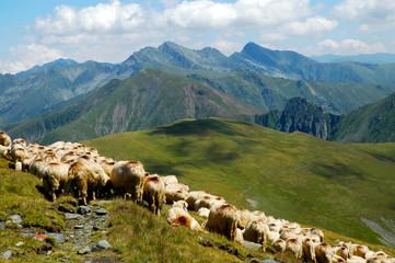 Flock of sheep in the Carpathian mountains. Fagaras mountains, Romania