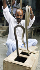 A snake charmer takes out two snakes out of a box to sell at a market in Porabari