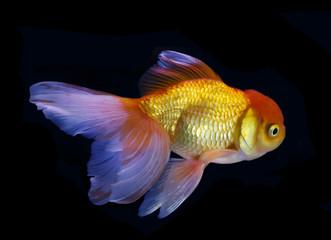 Goldfish swim on black background