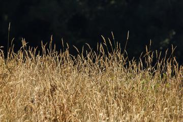 Dry Grass Savannah Field in Summer