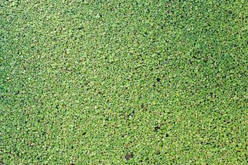 Green Duckweed