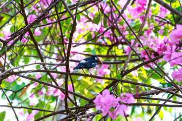 Starling  catch on bougainvillea branch