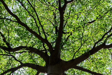 Shape of umbrella Tree