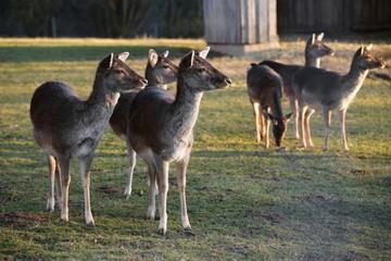 Herd of European roe deer (Capreolus capreolus)