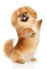 Wall Mural - Pekingese dog in front of white background