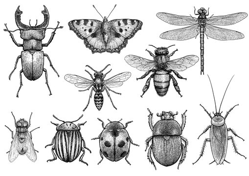 Insect illustration, drawing, engraving, ink, line art, vector