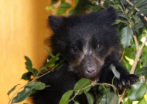 An Andean bear cub climbs a plant in the living room of an animal rights activist in La Paz