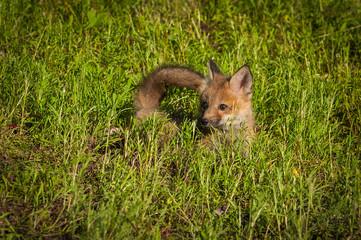 Red Fox Kit (Vulpes vulpes) Lies in Grass