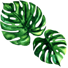 Two tropical large green leaf of exotic monstera isolated, watercolor illustration on white