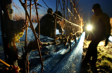A worker inspects grapes in the eastern German village of Zadel early December 22, 2004. The grapes ..