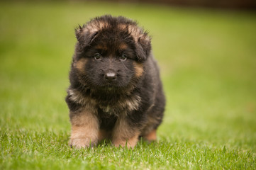 Walking cute german shepherd puppy