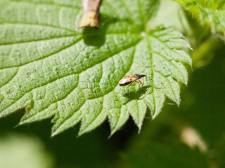 a small fly resting upon a leaf outside macro close up detail spring day light