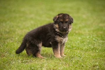 Standing cute german shepherd puppy