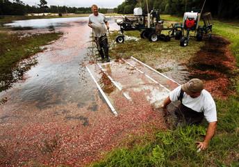 Scott Maxim and Rob Rubini harvest cranberries at a cranberry bog in Carver