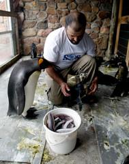 Uruguayan environmentalist Richard Tesore feeds a penguin in Piriapolis