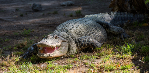 Crocodile in Hamat Gader, Israel .