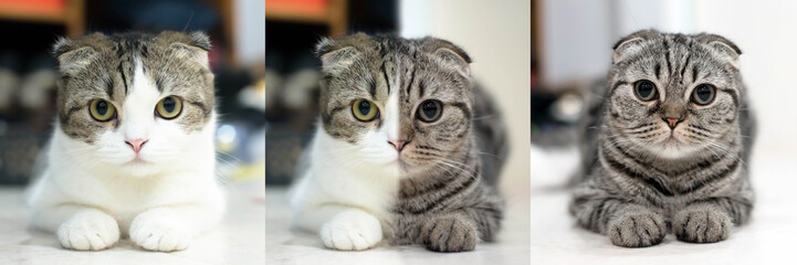 Portrait of two cats Mix together isolated on the floor, White and grey cat animal Scottish Fold cute cat sweet, Close up. Yellow eyed Cat.