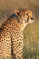 Portrait of a cheetah in golden afternoon light