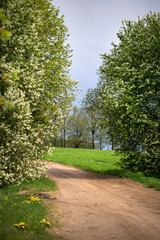 The bird cherry blossoms on the road