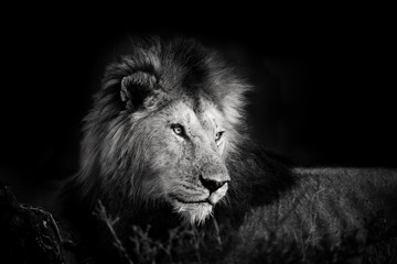 Black and white portrait of one of the four Musketeer Lions in Masai Mara, Kenya