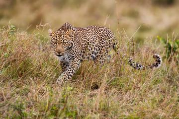 Wall Mural - Leopard on the hunt in Masai Mara, Kenya