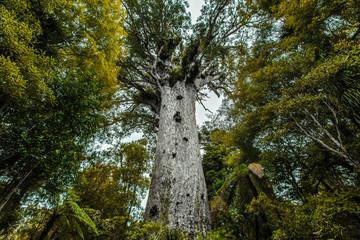 Kauribaum in Neuseeland (New Zealand)