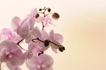 Close-up of white orchids on light background. Phalaenopsis Orchid striped isolated. Pink orchid in pot on white background. Image of love and beauty. Natural background and design element.