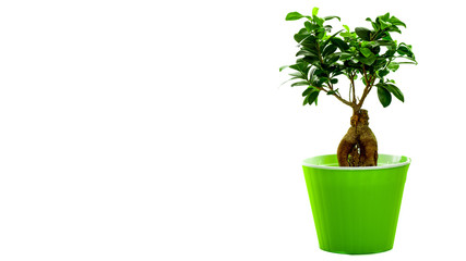 bonsai tree in pot isolated on white