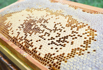 Close up on Baby Honey Bees in honey comb