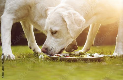 zwei junge labrador welpen fressen zusammen einen haufen fleisch von einem teller zdj. Black Bedroom Furniture Sets. Home Design Ideas