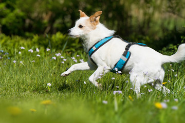 Rennender Terrier