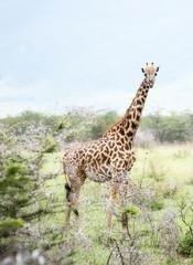 Masai Giraffe (Giraffa tippelskirchi) in Northern Tanzania