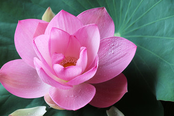 Garden Poster Lotus flower Flower Pink lotus and green leaf