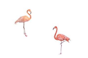 Flamingos freigestellt vor weißem Hintergrund