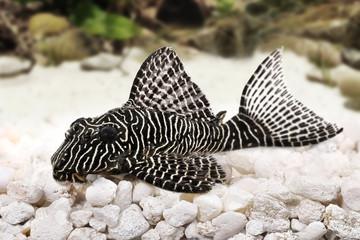 Pleco Catfish L-260 Queen Arabesque Hypostomus Plecostomus aquarium fish