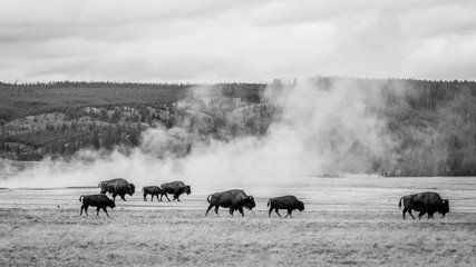 Tuinposter Buffel Bison grazing in the field, Yellowstone national park. Black and white photo.