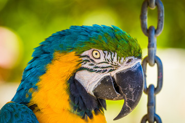 Parrot. Blue macaw. Macro photo. Portrait. Big beak. Multi-colored feathers