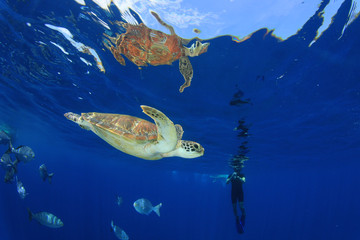 Sea Turtle and person snorkeling