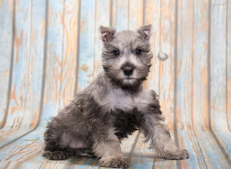 Miniature Schnauzer on faded blue wooden background