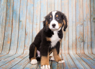 Bernese Mountain dog on faded blue wooden background