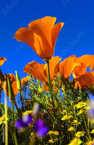 The california poppy californias state flower spring bloom 2017 the california poppy californias state flower spring bloom 2017 antelope valley california mightylinksfo