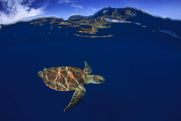 Sea Turtle split photo half and half over under