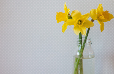Three yellow daffodils in a vase of water on light background. Bright spring flowers. Vintage background, blue with white polka dots.