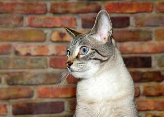 Portrait of a tan cream and black tabby cat, perplexed expression looking to viewers left. Brick wall background