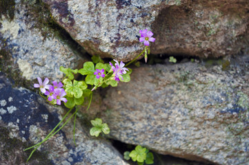 Small plant with pink flowers growing through the gap of stone