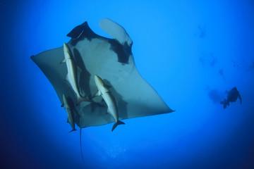 Manta Ray and scuba diver
