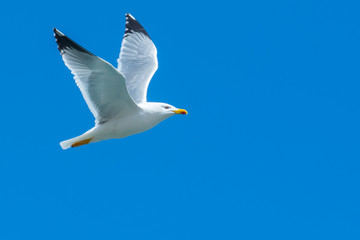 A seagull flying