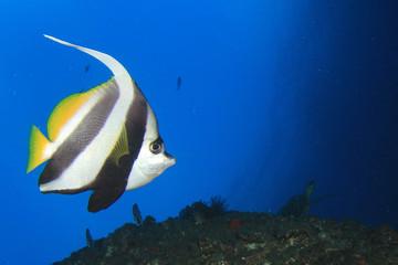 Longfin Bannerfish tropical fish
