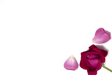 bocciolo di rosa con petali