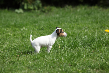 Adorable jack russell terrier puppy